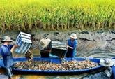 Soc Trang mise sur la rotation entre pénéiculture et riziculture