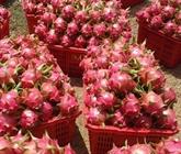 Un lot de huit conteneurs de fruits du dragon du Vietnam expédié aux États-Unis