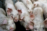 Le blues des producteurs de porc malgré la remontée des cours