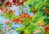 Annulation du Festival des fleurs de flamboyants rouges de Hai Phong 2020