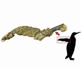 Antarctique : découverte d'une peau fossilisée d'un manchot de 43 millions d'années