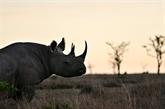 Une lueur d'espoir pour le rhinocéros noir, selon l'UICN