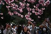 Malgré le virus, le Japon fête les fleurs de cerisier,