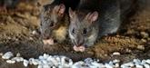 Comment les rats arrivent à