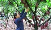 Bà Ria - Vung Tàu développe la culture bio du cacaoyer