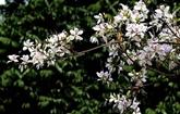 La bauhinie, une fleur typique du Nord-Ouest