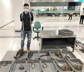 Cân Tho : près de 30 kg soupçonnés de cornes de rhinocéros saisis
