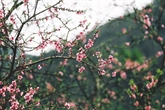 Le rose somptueux des fleurs de pêcher à Hà Giang