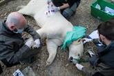 L'ourse polaire Nanuq quitte le zoo de Mulhouse
