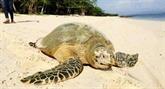 Thaïlande : des tortues marines rares reviennent pondre sur des plages vides de touristes