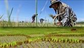 Thaïlande : la sécheresse réduira fortement sa production de sucre