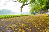 La beauté de Hanoï à la saison de la chute des feuilles de pancovier