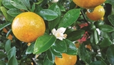 La légende du kumquat