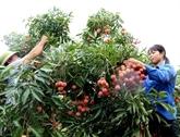 De nombreuses activités pour promouvoir la consommation de litchi