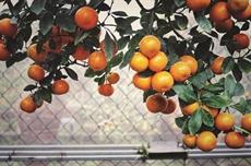 La légende du kumquat (suite)