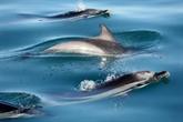 Prises accidentelles de dauphins : des scientifiques recommandent de nouvelles mesures