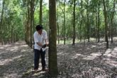 Le COVID-19 plombe les exportations vietnamiennes de caoutchouc