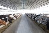 Le 1er lot de vaches importées d'Australie en route pour le Vietnam
