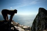 À Gibraltar, il sera interdit de toucher les macaques
