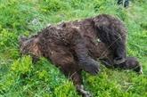 Un ours abattu en Ariège, l'État va porter plainte