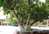 Truong Sa : quatre arbres reconnus patrimoines nationaux