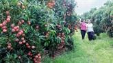 Voyage à Bac Giang dans la saison des fruits sucrés