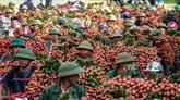 La Chine devrait augmenter ses importations de litchis vietnamiens