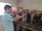 Développer l'élevage de races locales de poulets avec succès