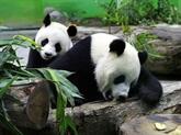 Un panda géant offert par la Chine donne naissance à un deuxième petit