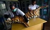 Birmanie : inquiétudes après l'autorisation d'élever tigres et pangolins