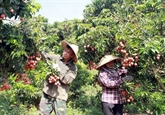 Les exportations de produits agricoles augmentent fortement via le poste frontalier de Lào Cai