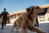 Chili : des chiens dressés pour détecter les malades du COVID-19