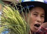 La Thaïlande approuve un programme de garantie des prix du riz