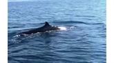 Une baleine de plus de quatre mètres dans les eaux de Cù Lao Chàm