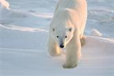 Réchauffement : vers l'extinction des ours polaires d'ici 2100, prévient une étude