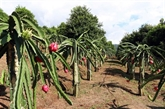 Son La : dix tonnes de fruits du dragon à chair rouge bientôt exportées vers la Russie
