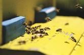 En Albanie, les abeilles font leur miel en paix