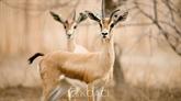 Une quarantaine de gazelles dorcas tuées par des braconniers