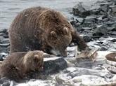 Beignets et torches de nouveau autorisés pour chasser ours et loups