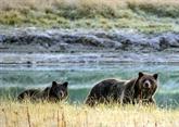Chasse : une cour d'appel américaine sauve la peau du grizzly de Yellowstone