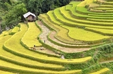 Yên Bai accueillera le festival des champs en terrasses de Mù Cang Chai