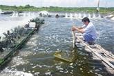 Bac Liêu deviendra un centre de production de crevettes du pays