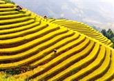La belle saison de Lào Cai arrive