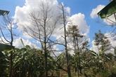 Tiên Giang fait revivre les vergers de durian touchés par l'intrusion d'eau salée