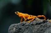 Le champignon tueur qui menace d'exterminer un tiers des amphibiens du Panama
