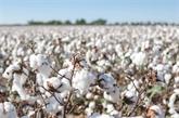 Un grand événement en ligne autour du coton