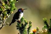 Un colibri émerveille la science avec son chant de contre-ténor
