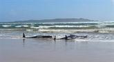 Australie : des centaines de cétacés coincés dans une baie de Tasmanie