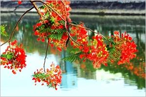 Les fleurs rouges du flamboyant dans la symbolique vietnamienne