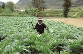 Les paysans de Lào Cai et la culture de l'artichaut
